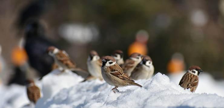 Životinje i sneg  - Page 5 Vrapci-sneg-zivotinje