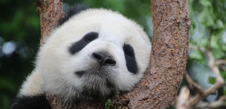 panda spava na drvetu