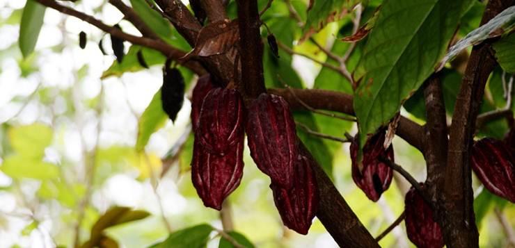 drvo kakaa
